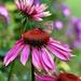 Cone Flower Butterfly