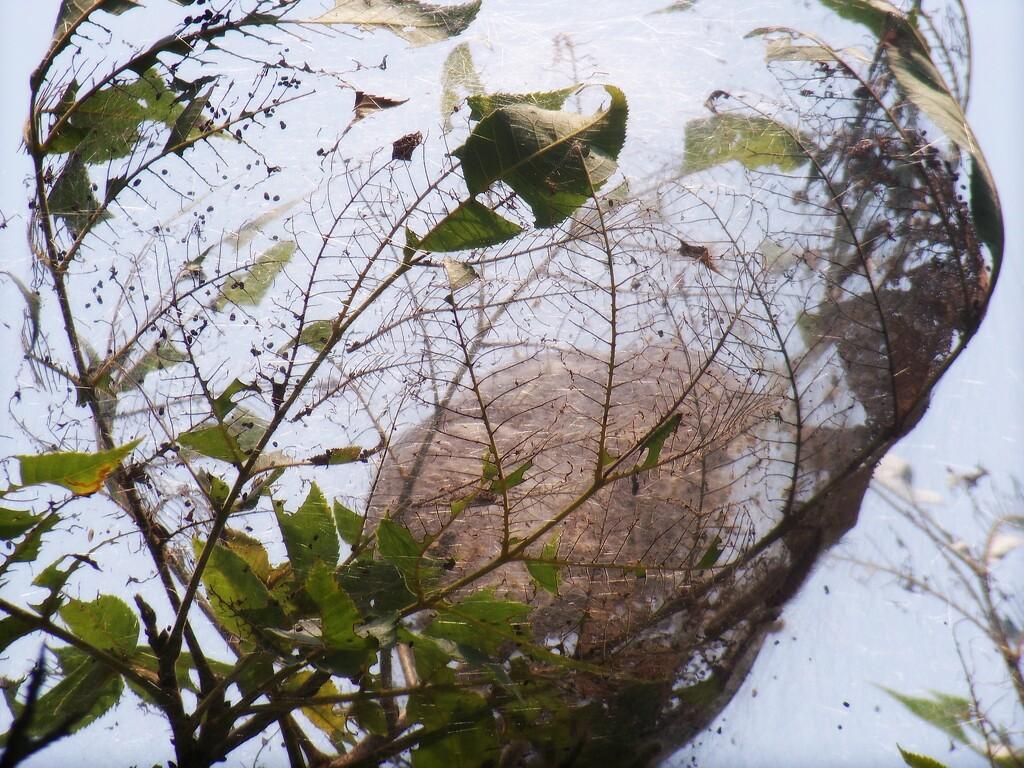 Webworm nest... by marlboromaam
