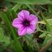 My 8th wildflower find of summer...