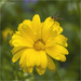 Corn Marigold by pcoulson