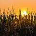 Sunrise Over the Cornfield