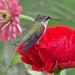 Hummingbird resting by annepann