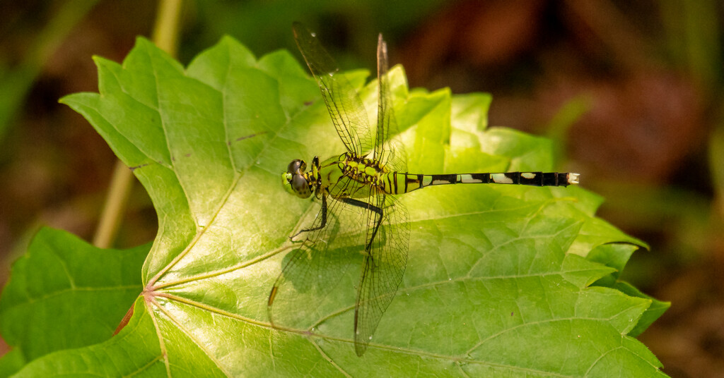Dragonfly on the Leaf.....! by rickster549