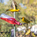 Aggressive Weavers at my feeder
