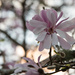 Twilight magnolia