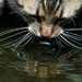 whiskers in water
