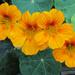 Vegetable Garden Blooms by seattlite