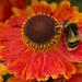 Obliging Bumblebee by shepherdman