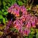 Kalanchoe In Flower ~