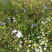 Wild (?) flowers of the verges