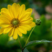 Sunflower by cdcook48