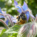 Bee in The Borage
