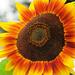 Standout Sunflower by seattlite