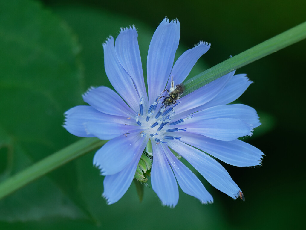 chicory by rminer