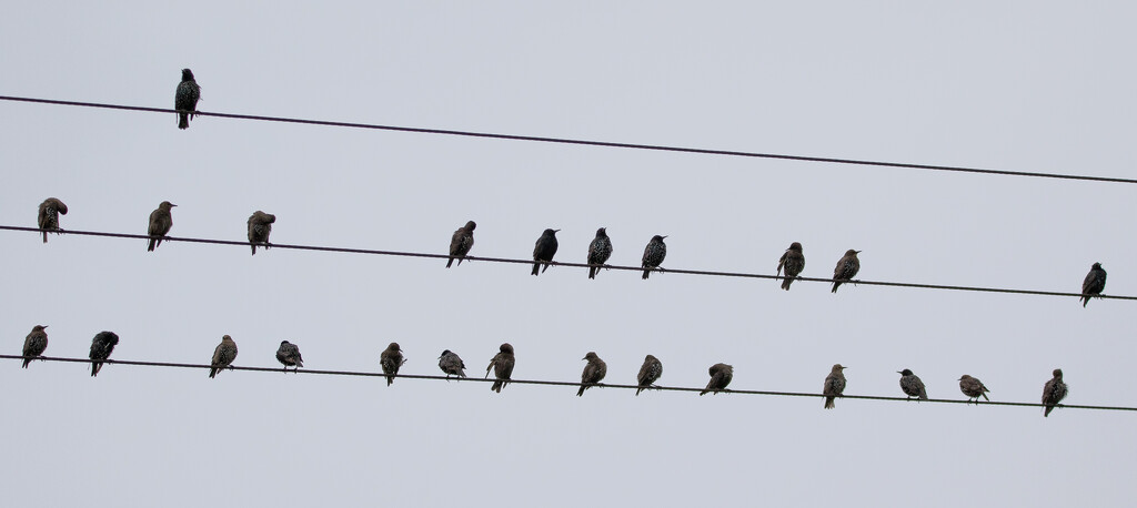 Starlings by lifeat60degrees