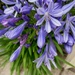 Agapanthus now in full bloom by snowy