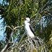 Pied Cormorant On The Lookout ~