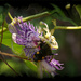 Scarab hunter wasp... by marlboromaam