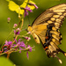 Eastern Tiger Swallowtail Butterfly!