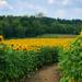 Sunflower fields forever….. by cashep19