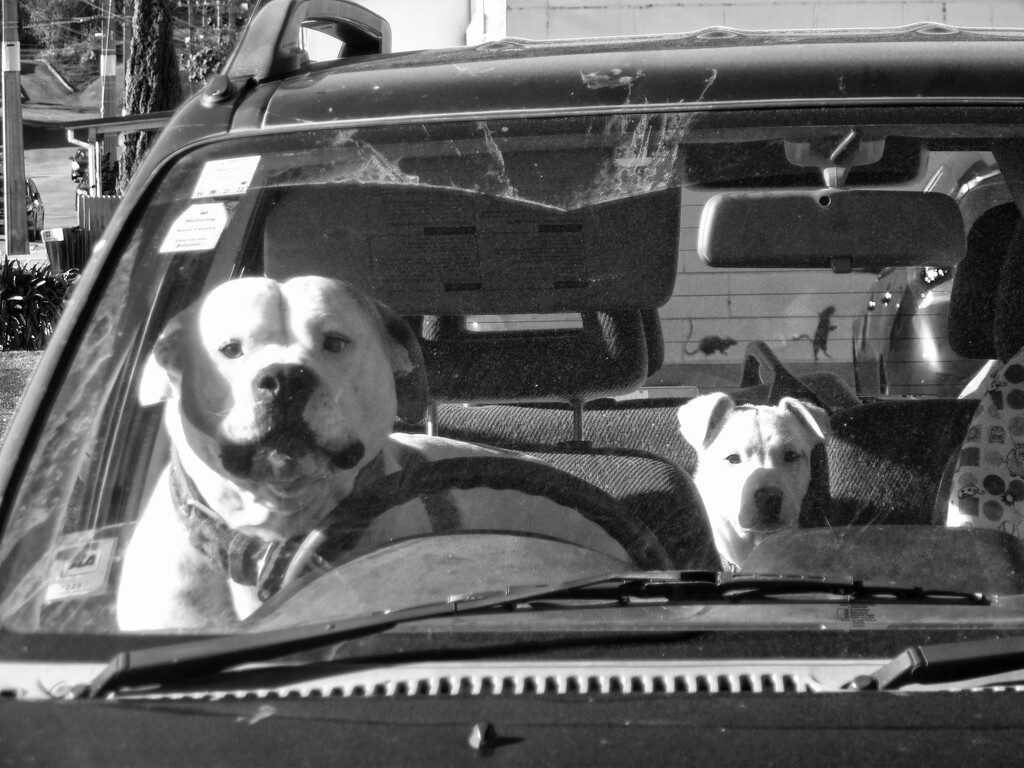 dogs in cars  by kali66