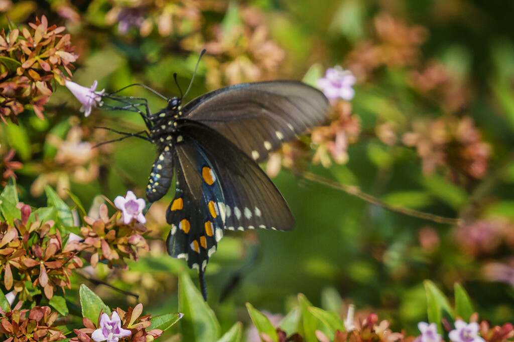 Pipevine Swallowtail by k9photo