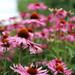 Wall of Echinacea