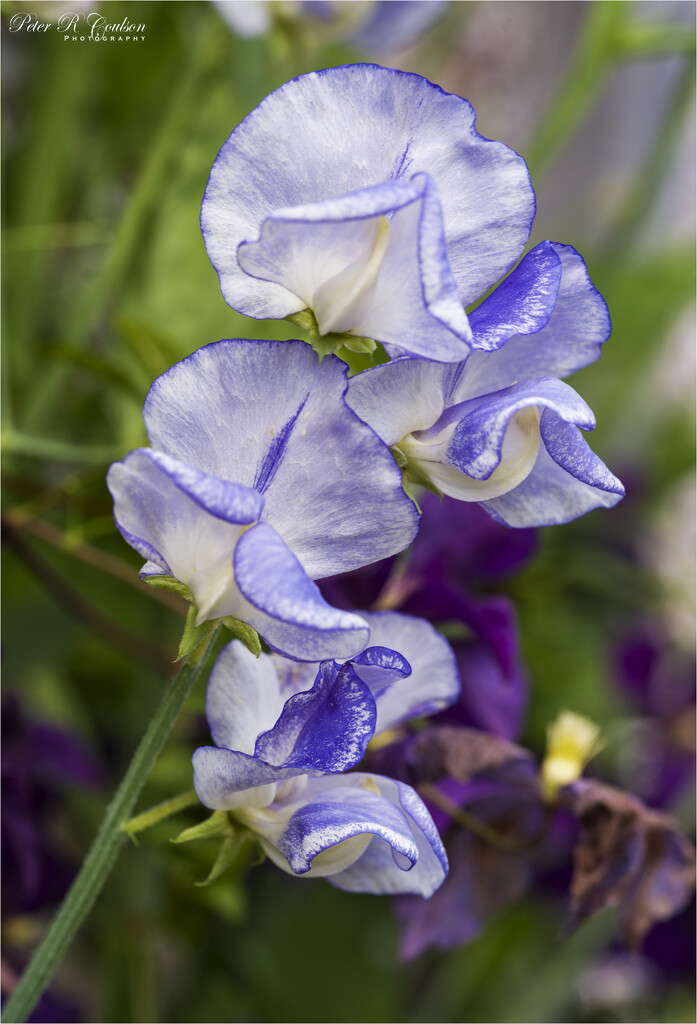 Sweet Peas by pcoulson