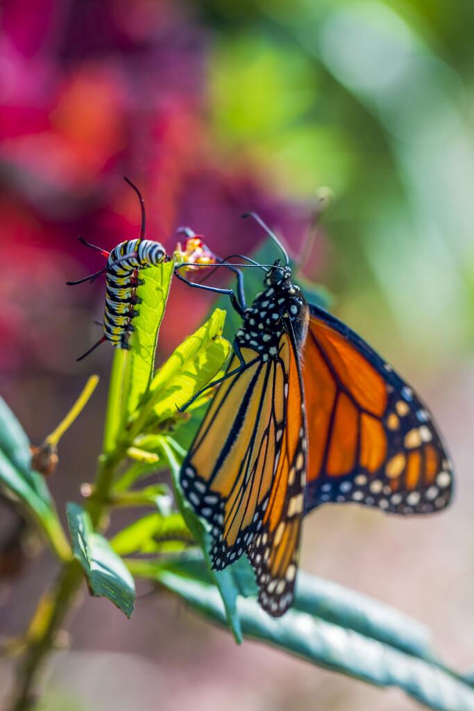 Queen Caterpillar & Monarch Butterfly by kvphoto