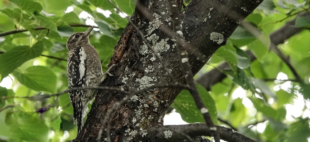 Juvenile Yellow-bellied Sapsucker by radiogirl