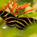 Zebra Longwing Butterfly! by rickster549