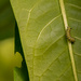 Monarch Caterpillar! by rickster549