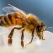 Honey Bee by nicoleweg