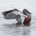 Male shoveler duck by maureenpp