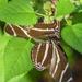 Cozy Zebra Longwings by k9photo