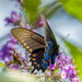 Pipevine Swallowtail by kvphoto