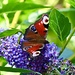 Peacock Butterfly by carole_sandford