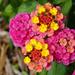 Single stem colors of lantana
