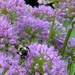 The bees and I like allium (ornamental onion)