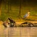 Heron and Nessie ( Loch Ness) by samae
