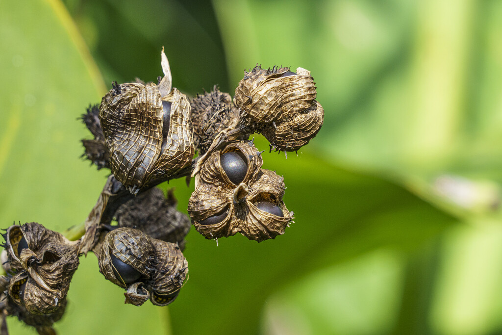 Canna Lily Seeds by k9photo