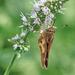 Golden Moth by gardencat