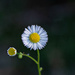 Sunlight on the Chamomile... by thewatersphotos