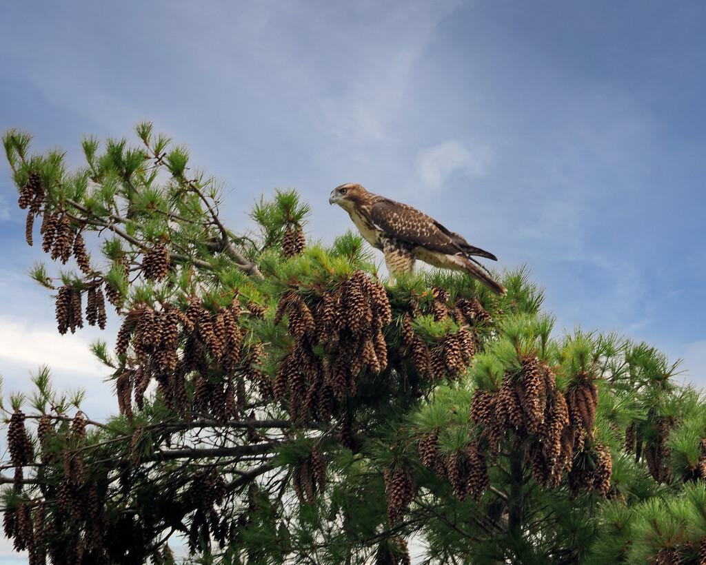 Juvenile Eagle by rosiekerr