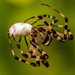 Spider, Wrapping up It's Prey, for Later! by rickster549