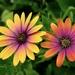Flowers in a friends garden on 365 Project