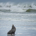 NZ fur seal resting after stormy seas by maureenpp