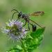 Minty Wasp by gardencat