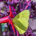 Cloudless Sulphur by k9photo