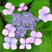 Another hydrangea....... by sailingmusic
